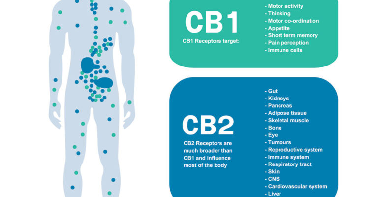 The Power Behind CBD, The Endocannabinoid System
