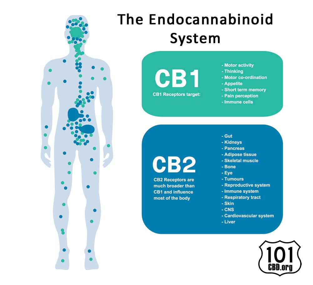 The Power Behind CBD, The Endocannabinoid System
