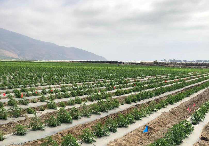 Local Pushback Regarding Hemp Farmers in Ventura County